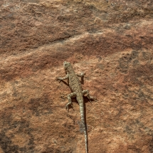 Lower Big Horn Canyon - Lizzard