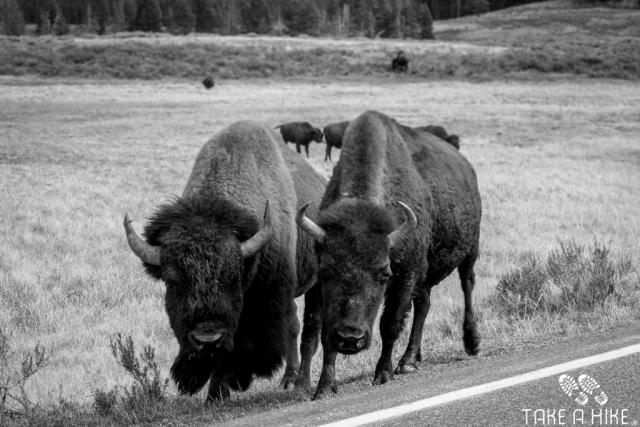 Black&White - Bison Attack, Yellowstone NP