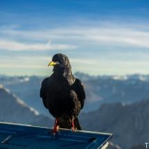 Zugspitze Vogel